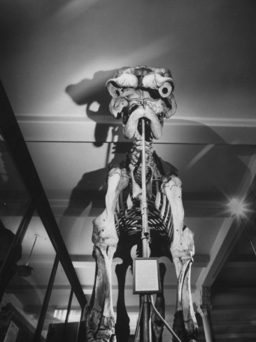 ralph-morse-10-ft-high-and-14-ft-long-skeleton-of-jumbo-famous-19th-century-barnum-circus-elephant