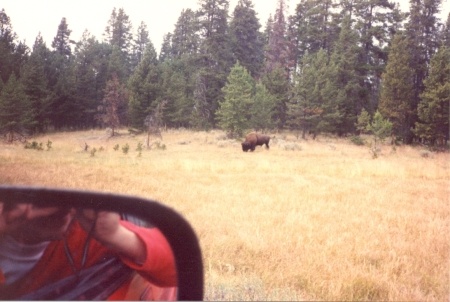 Your correspondent photographs a Bison in his native element safely from the car window
