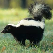 His Descendants Were Stingy and Insulting on the Issue of Photographs, So Here is a Picture of a Skunk